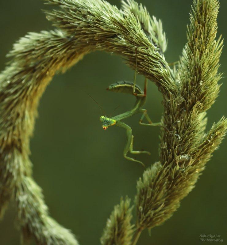 макро, природа, насекомые, богомол, macro, nature, insects, mantis, Из жизни богомоловphoto preview