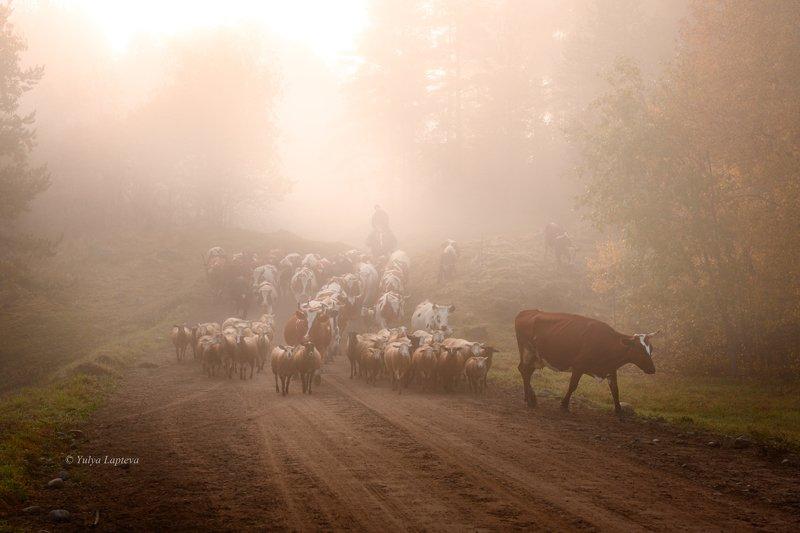 карелия,утро,рассвет,туман,пастух,красота,осень \