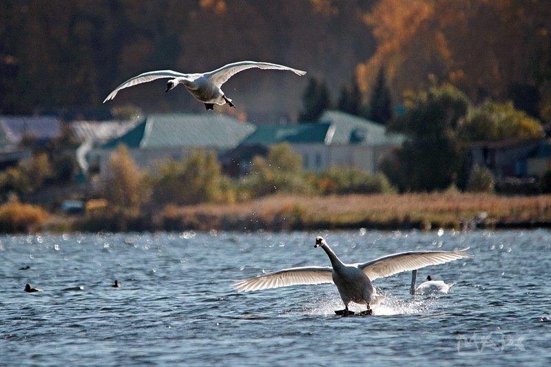 животные птицы лебеди-шипуны осень башкирия озеро кандры-куль На земле, в небесах и на мореphoto preview
