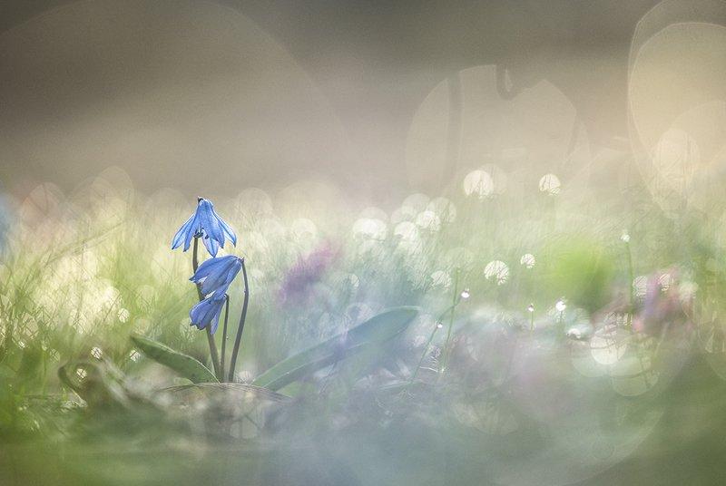 пролесок, весна, первоцвет, свет, цвет, утро, позитив, воронеж, геннадий мещеряков Солнечное-позитивное...photo preview
