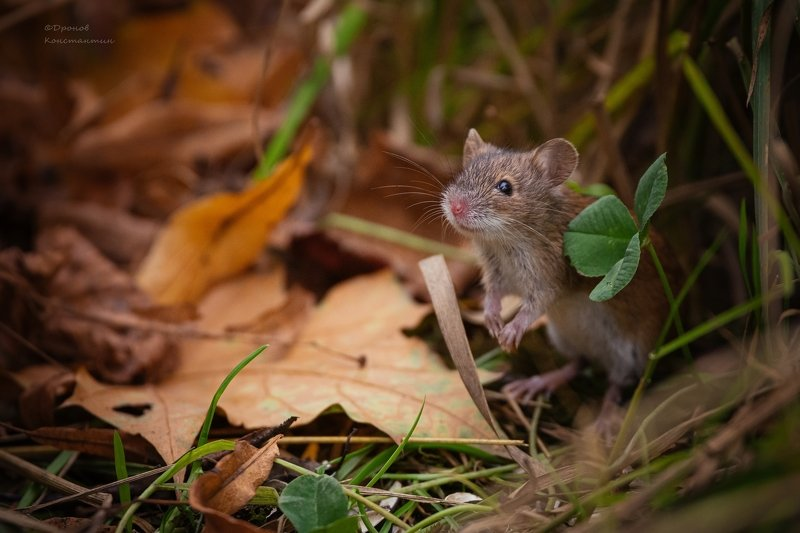 фотоохота, животные, мыши, полевка Осень, осень....photo preview