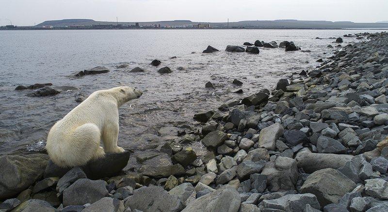 медведь белый полярный морской чукотка арктика берег море ...?photo preview