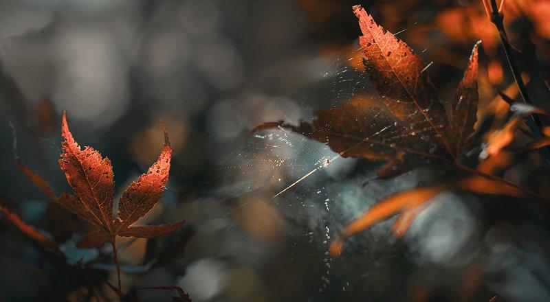 природа, макро, осень, клен японский дланевидный, паутина Отблескиphoto preview