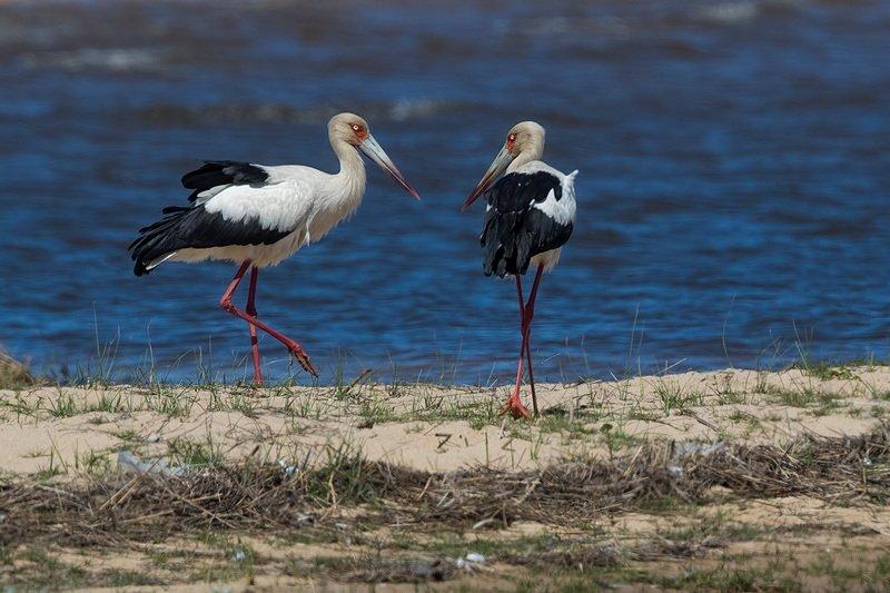 птицы, уругвай Американский аистphoto preview