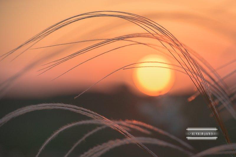 Ковыль на фоне солнцаphoto preview