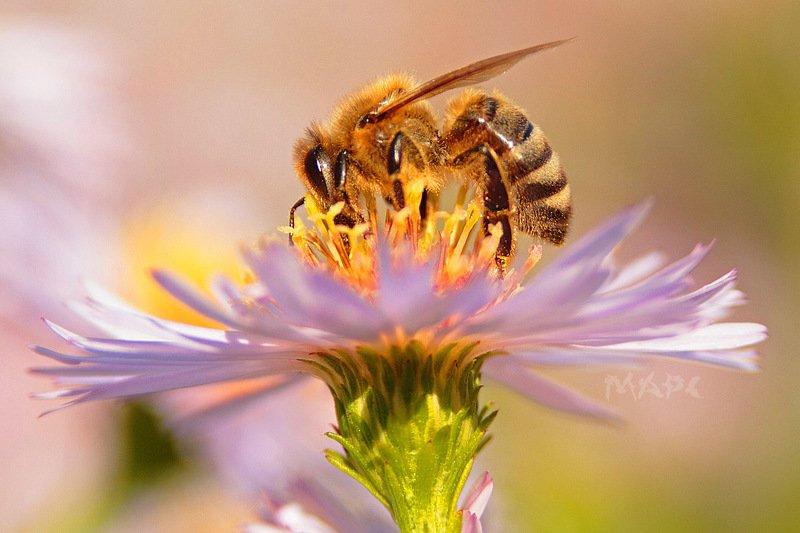 макро пчела цветок осень последние осенние цветыphoto preview