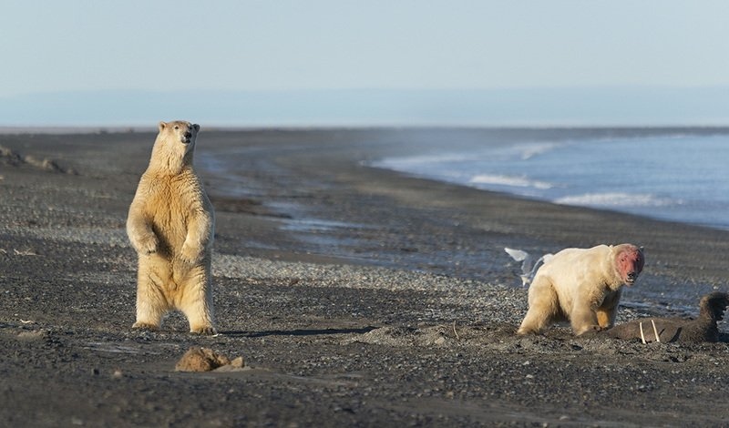 чукотка арктика север 180 меридиан белый медведь полярный морской Дозор....photo preview