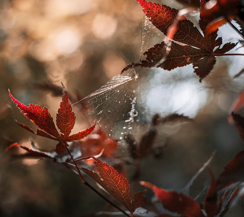 природа, макро, осень, клен японский дланевидный, паутина Осеньphoto preview