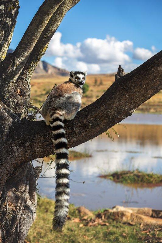 #мадагаскар #остров #африка #лемур #путешествие #кошачий лемур #натура #lemur #madagaskar #afryka #adventure #island #travel  Мадагаскар .Лемурphoto preview