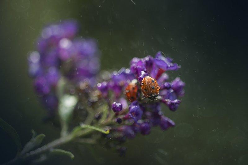 божья коровка, макро, цветок, вега 11-У ************photo preview