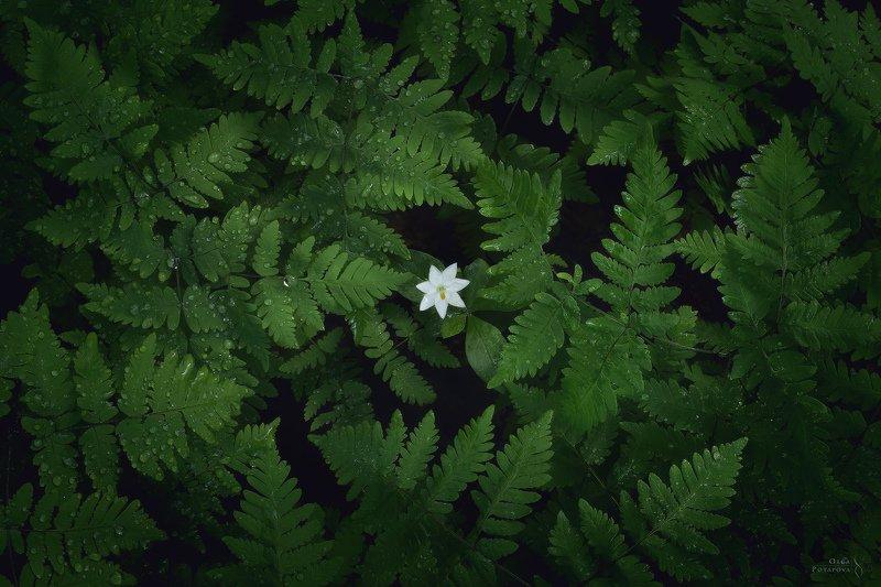 папоротник, седмичник, белый цветок, карельский перешеек, текстуры, зелень, лес Цветок папоротника IIphoto preview