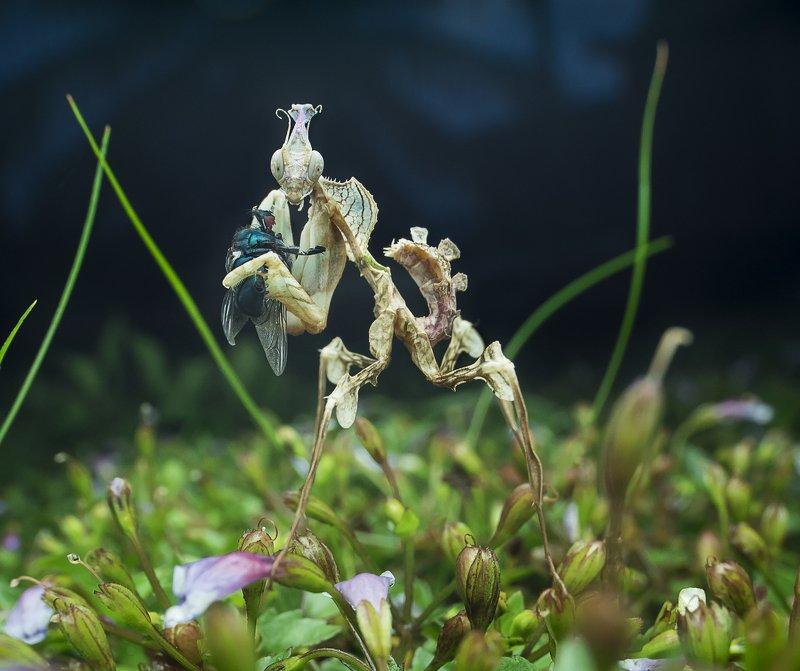 #macro#mantis#colors Devil Flower Mantisphoto preview