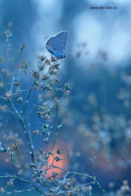 макро, природа, бабочка Голубой блюзphoto preview