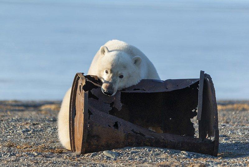 чукотка арктика север медведь белый полярный морской бочка металлолом ест Медведь - бочкоед...photo preview
