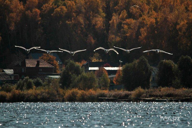 животные птицы лебеди шипуны озеро кандры-куль башкирия лебеди шипуныphoto preview