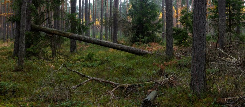 лес, осень, деревья, ветви, ели, бурелом В лесуphoto preview