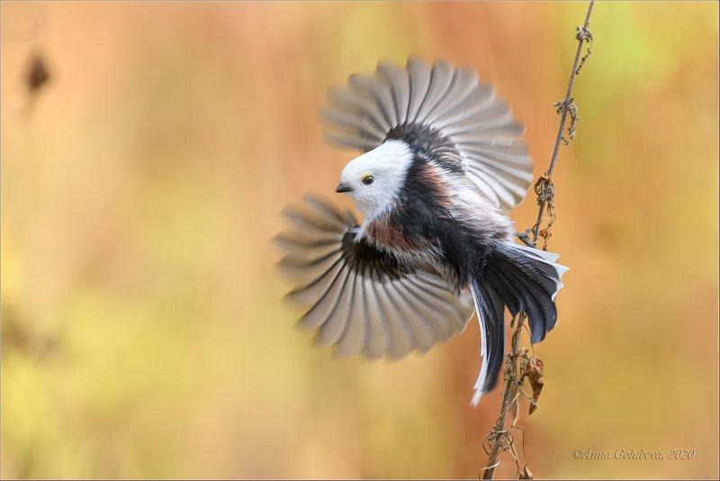 птицы, природа, ополовник, синица длиннохвостая, aegithalos caudatus, long-tailed tit, осень, октябрь, 2020, москва, россия Вжикphoto preview