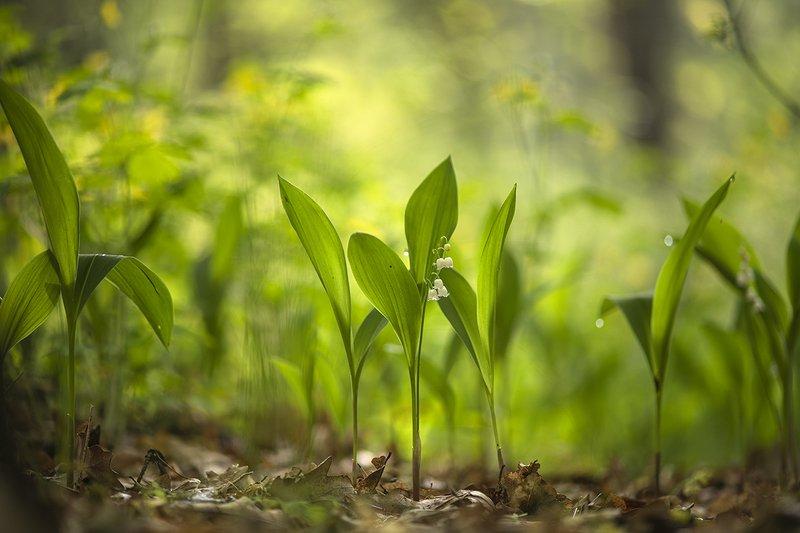 ландыши, цветы, утро, свет, позитив, май, весна, перезвоны,  воронеж, геннадий мещеряков Обычное майское утро в лесу...photo preview