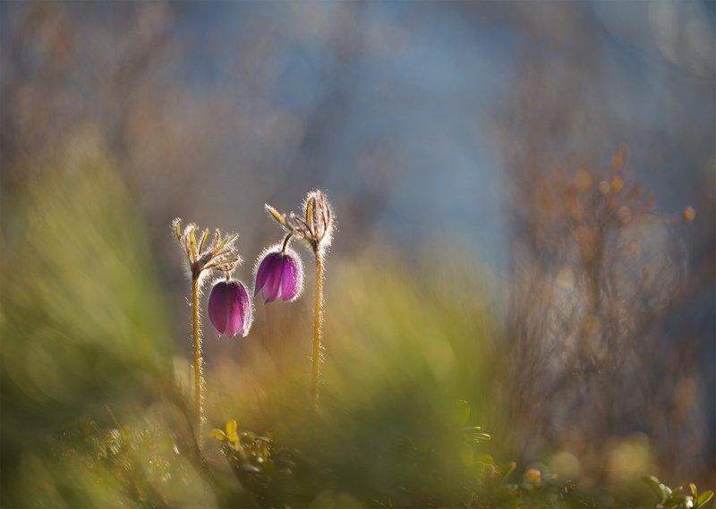 нерюнгри, сон-трава, якутия, прострел, подснежник, якутия, весна, природа_якутии, Мы долгое эхо друг друга...photo preview