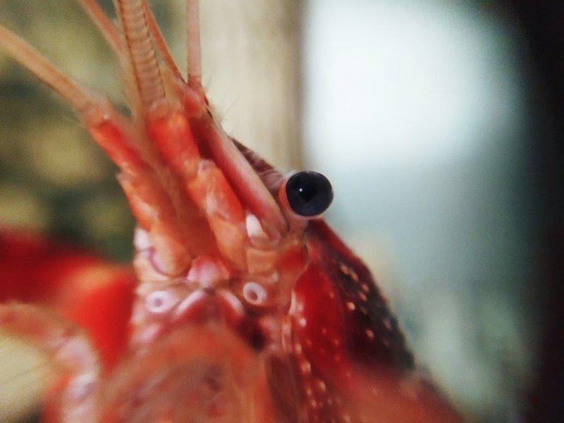 Кеша.Красный Калифорийский рак...photo preview