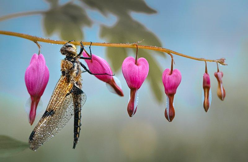 природа, макро, весна, цветы, дицентра, насекомое, стрекоза Карамельный цехphoto preview
