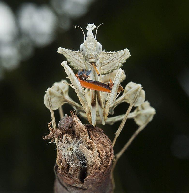 #mantis#macro#colors Devil Flower Mantisphoto preview