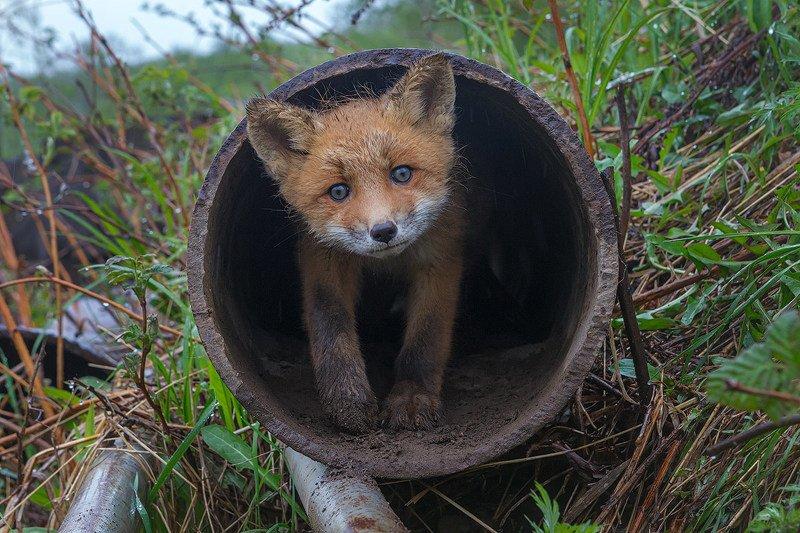 Камчатка, лиса, животные, природа, лисенок, лето, путешествие Зачем пришел?photo preview