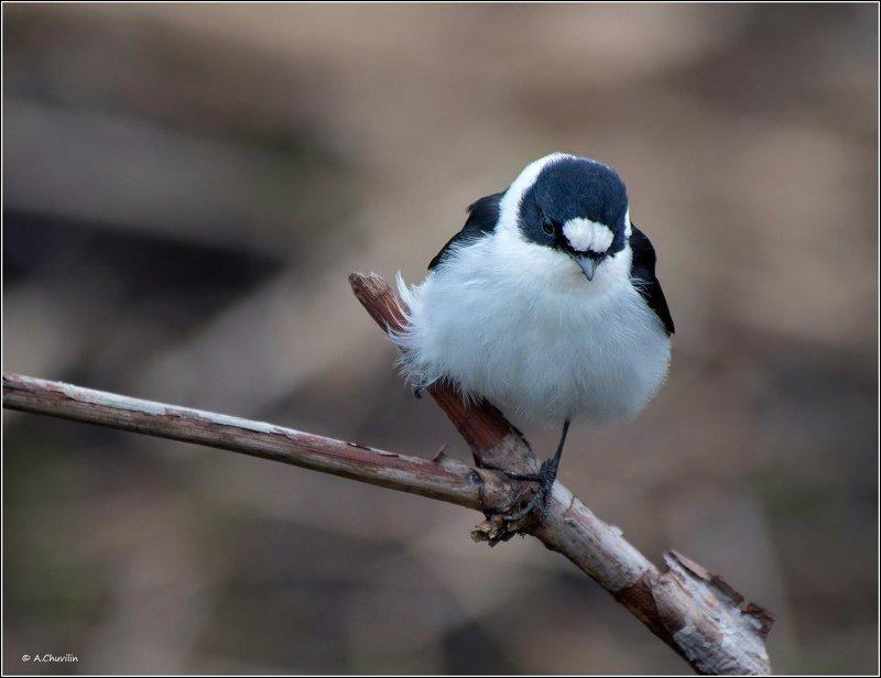 птица,мухоловка,белошейка,май Мухоловка белошейкаphoto preview