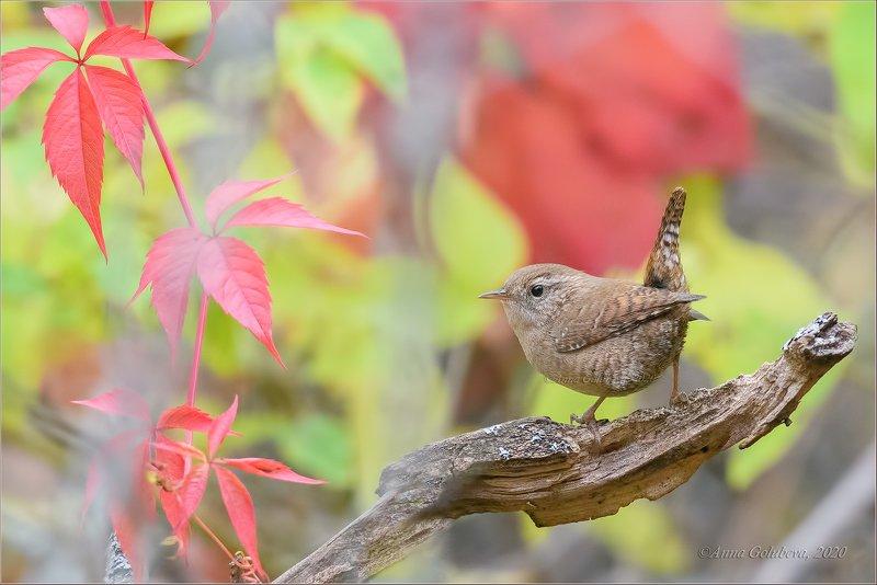птицы, природа, крапивник, northern wren, troglodytes troglodytes, осень, октябрь, 2020, москва, россия Крапивникphoto preview