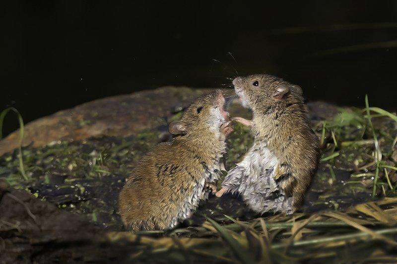 мыши, драка, осень  Мышиные бои без правил 1photo preview