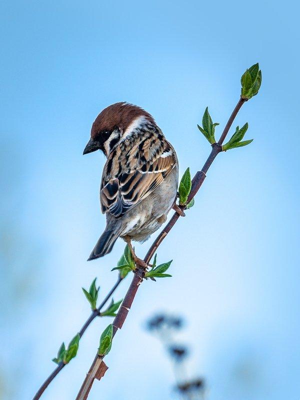 воробей, птица, птицы, фауна Воробей фото превью