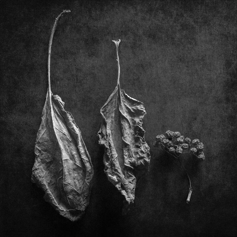 черно-белое Рябина и лопухphoto preview