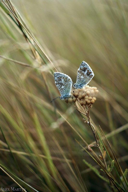 степь, бабочка, насекомые, макро, ***photo preview