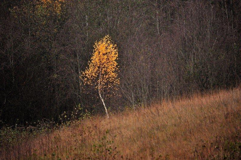 пейзаж, природа, осень, берёза, россия, псковская обл. Жёлтая берёзка.photo preview