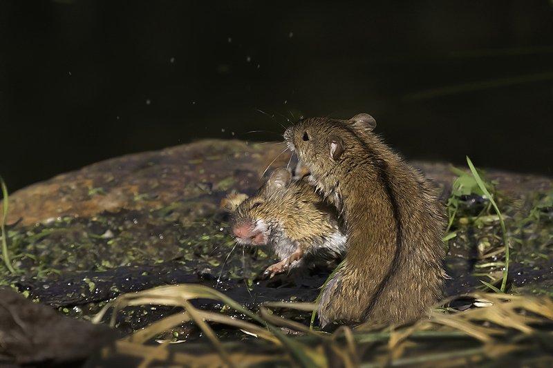 мыши, драка, осень Мышиные бои без правил 2photo preview