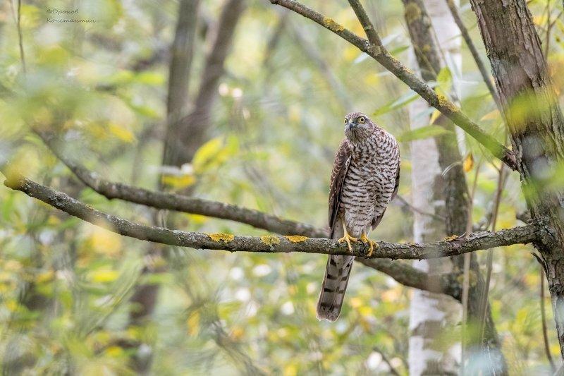 птицы, фотоохота, ястреб, перепелятник Есть тут кто живой?photo preview