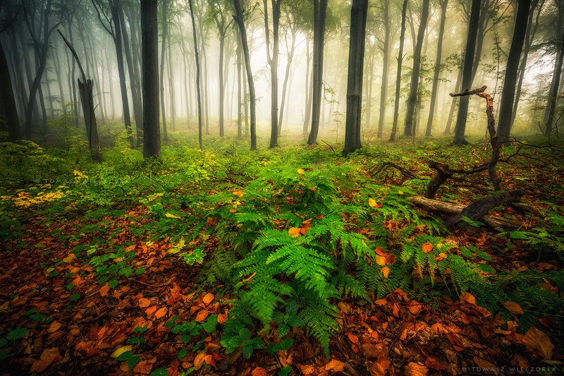 landscape, poland, light, autumn, awesome, amazing, sunrise, sunset, lovely, nature, travel, morning, trees, wood, fog, mist, smell The smell of the forestphoto preview