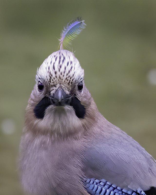 птица, сойка, перо, лес Вождь племени соекphoto preview