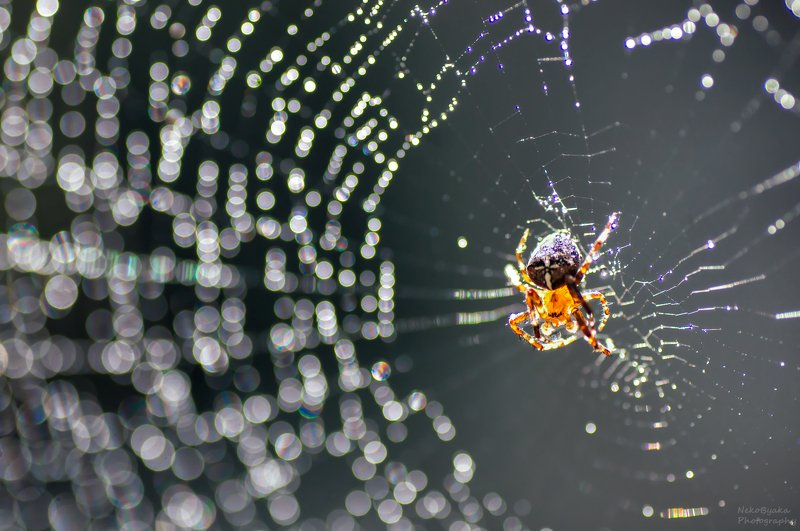 макро, природа, пауки, паутина, капли, дождь, боке, осень, macro, nature, spiders, cobweb, drops, rain, bokeh, autumn, Ловец дождяphoto preview