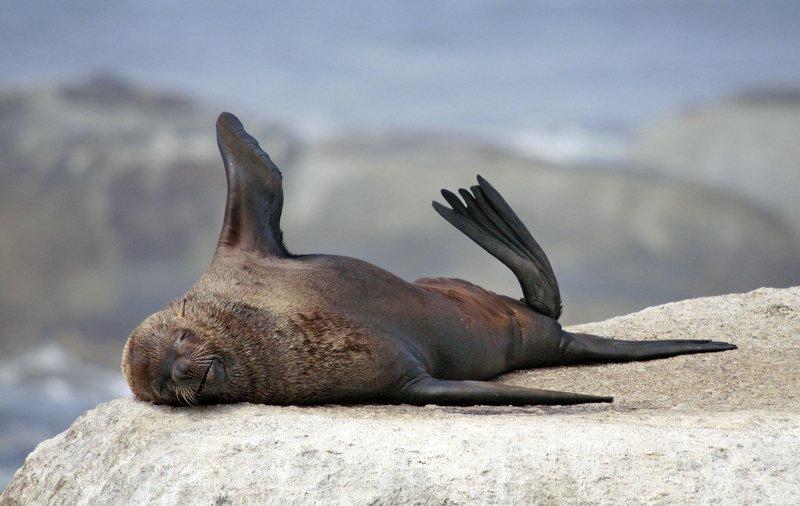 котик, тюлень, африка Привет, туристы!photo preview