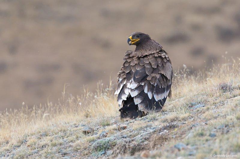 орел, eagle Степной орёлphoto preview