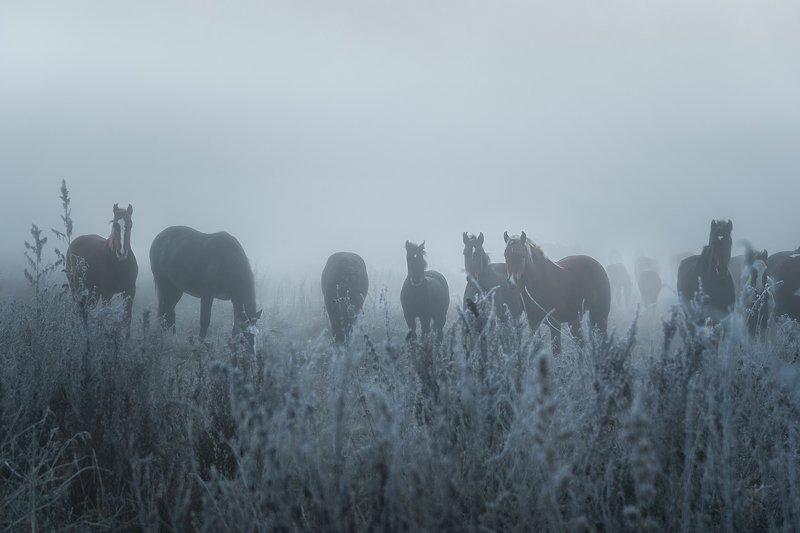 лошади, алтай, туман, рассвет, горный алтай, Предрассветные грезыphoto preview