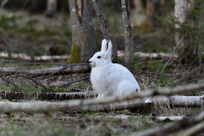 лес,животные,заяц,беляк задумчивыйphoto preview