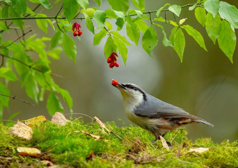 птицы,природа, осень Бересклетphoto preview