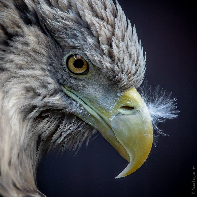 орел Портрет орлаphoto preview