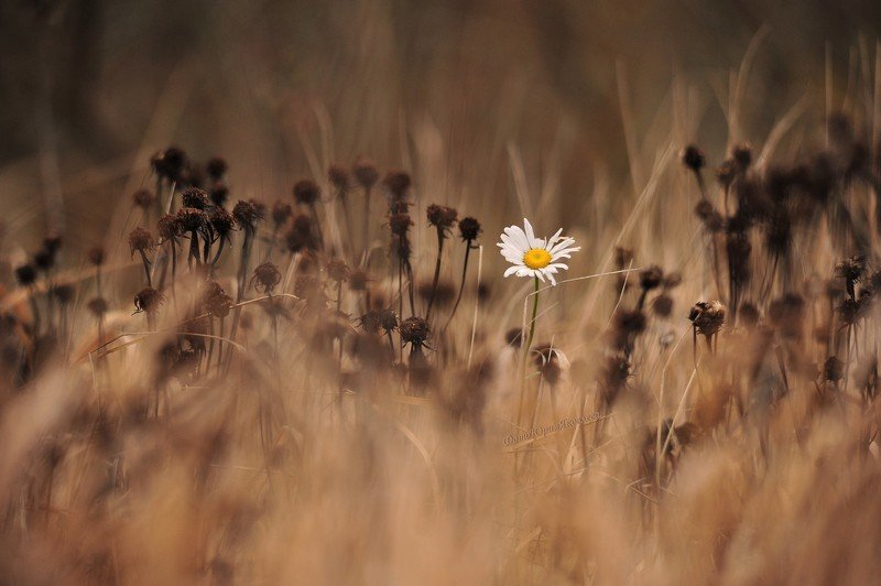 осень, природа, пейзаж, ромашки, цветок, поле, Последний цветок.photo preview