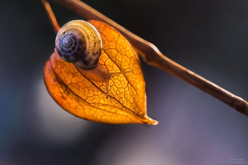 макро, природа, осень, улитка, растения, физалис, macro, nature, autumn, snail, plants, physalis ***photo preview