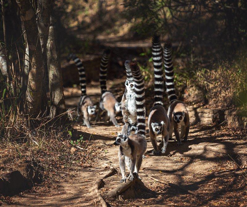 #lemur #лемур #мадагаскар #остров #животные #кошачийлемур #африка Кошачьи лемуры Мадагаскарphoto preview
