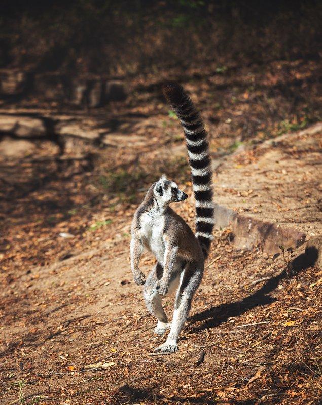 Кошачий лемур Мадагаскарphoto preview