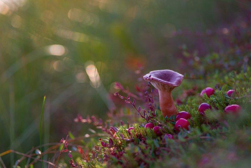 гриб, сухарка, клюква, болото, осень, кочка про маленькую поганочку, клюкву и осень на болотеphoto preview
